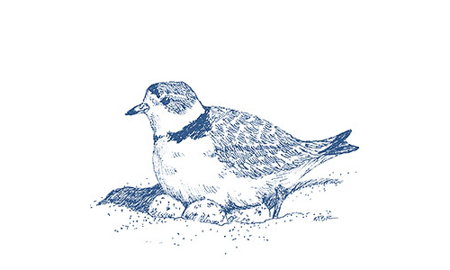 Piping Plover illustration by Mary Bowmar Richmond