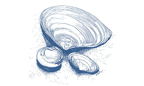Quahog and clams illustration by Mary Bowmar Richmond