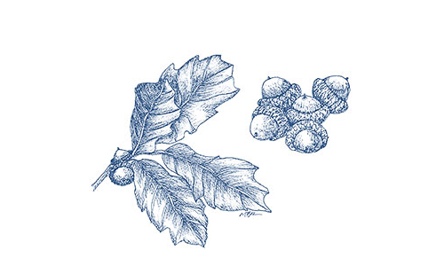 Scrub oak illustration by Mary Bowmar Richmond